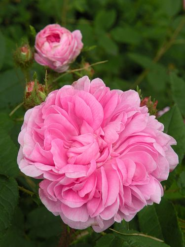Moss Rose: Rosa 'Pélisson' (France, 1849)