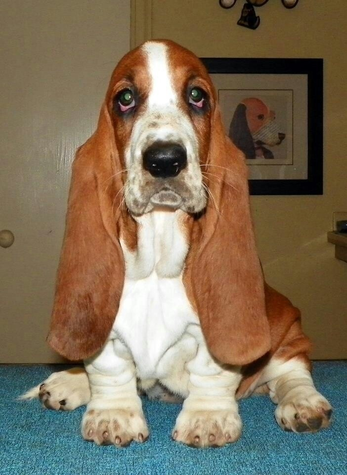 Basset hound....so beautiful!