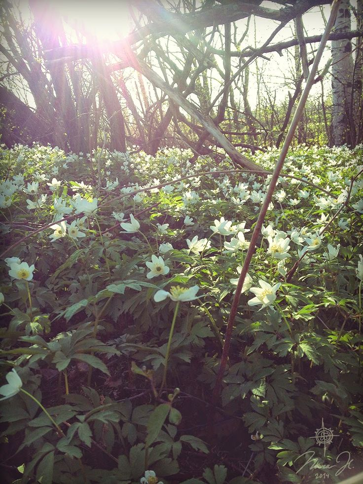 Some forest anemones