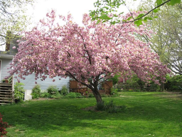 The Classic Kwanza Would Love This In My Backyard Japanese Cherry Tree Flowering Cherry Tree Tree