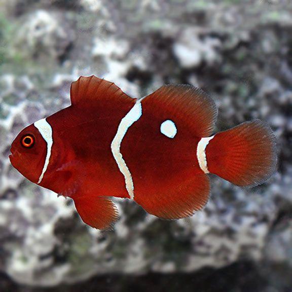 Gold Dot Maroon Clownfish Captive Bred Ora Saltwater Aquarium Corals For Marine Reef Aquariums Clown Fish Fish Breeds