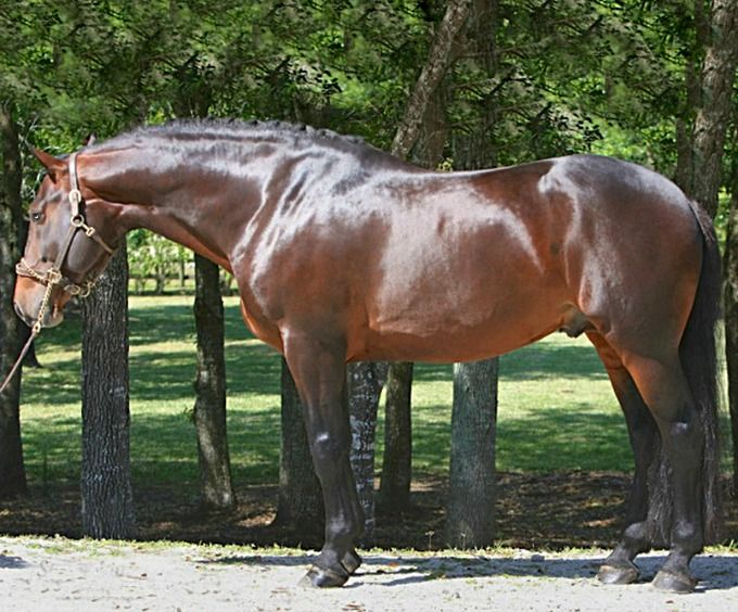 Registered Irish Draught Horse stallion, Steeped In Luck.