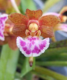 Aerides flabellat Orchid --- Nature's Fairy Ballerina.....