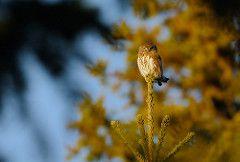Glaucidium passerinum - Avibase