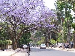 Jacaranda Tree - If I move to southern California, I shall plant a Jacaranda tree and take delight in purple flowers each spring.