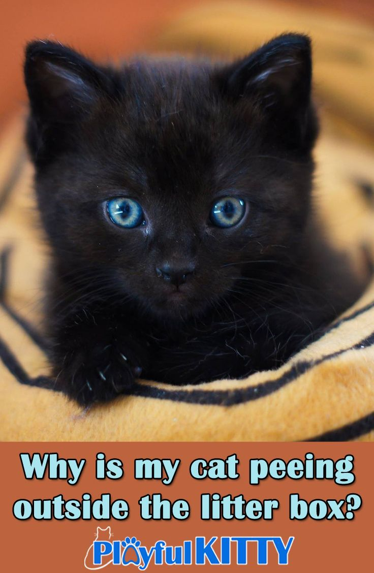 Why Is My Cat Peeing Outside The Litter Box Playful Kitty Cats Cat Care Cat Pee