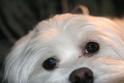 Tear stains are common in dogs, especially smaller breeds like the Maltese and shih tzu. Tiny tear ducts are most likely to blame for the stains that accumulate underneath their eyes. If your pooches have tear stains, there are many ways to clean them and prevent new ones from forming.