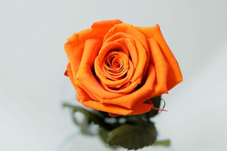 Róża krótka – Rosebelle.eu – Stabilizowane, wiecznie piękne róże i kwiaty