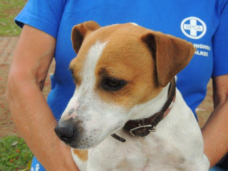 """Kennel 54:  """"Chippie"""", our braveheart Jack Russell male, beautiful, brown and white."""