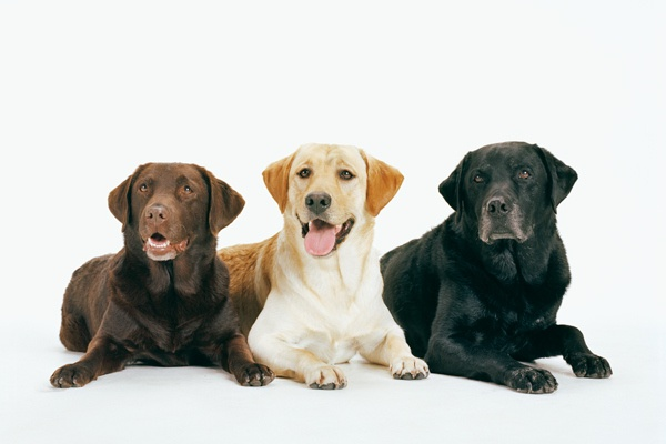 Labrador Retrievers  Sharon Montrose / Getty Images