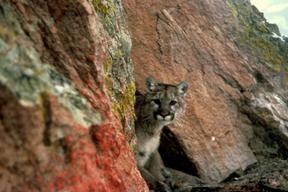 3 main cougar populations exist in the Midwest centred around The Black Hills in SD, however, cougars are venturing far outside of this range. One male cougar from the Black Hills was found to have travelled 2900 km thru Minnesota/Wisconsin/New York, before ending up in Connecticut