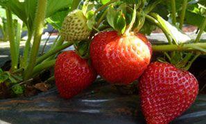 Good berry supplier