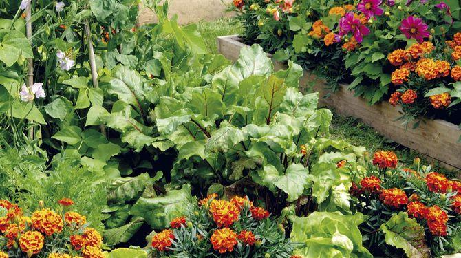 Levanduľa odpudzuje vošky, bazalka zlepšuje rast rajčín