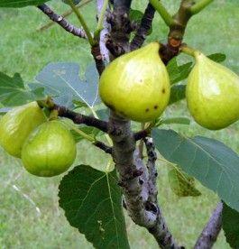 Ficus carica 'Pedro' - Sárga termésű füge
