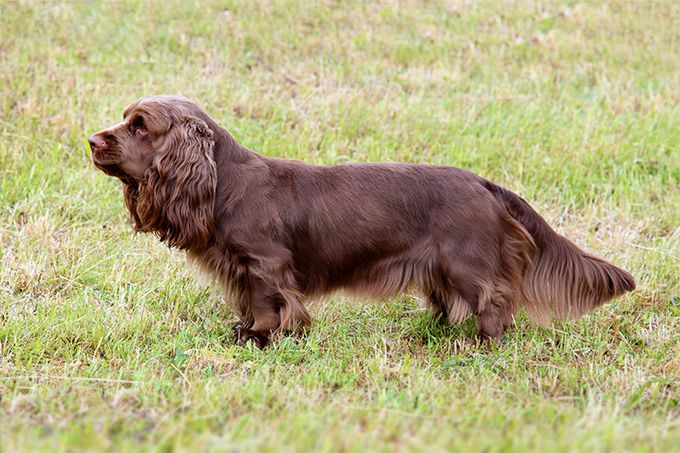 Sussex Spaniel Dog Breed Picture