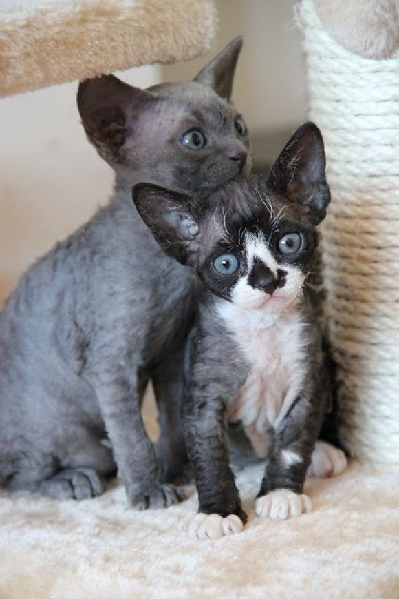 two beautiful Devon Rex kittens
