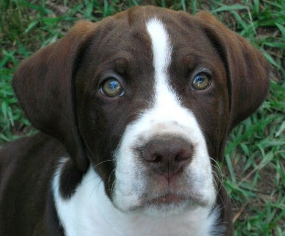 beautiful brown and white boxer lab mix