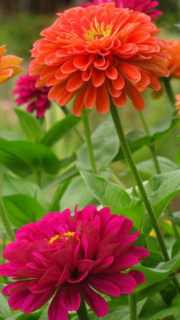 "Zinnia elegans ""Benary's Salmon Rose"" & ""Benary's Giant Wine"" 