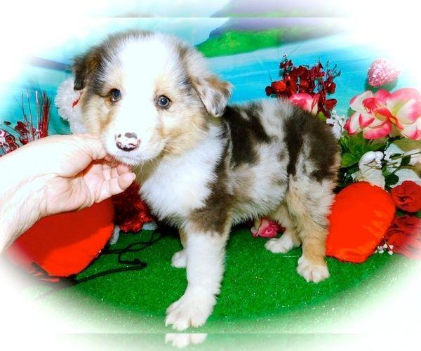 Australian Shepherd Puppy For Sale In Hammond Indiana Usa Adn