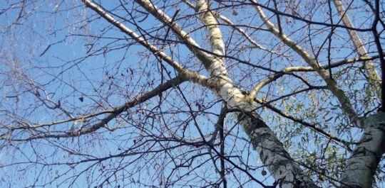 La sève de bouleau bio: la légendaire cure de printemps