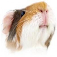 """Vegetables and Fruits Safe for Guinea Pigs To Eat – The Happy Cavy """"Snack"""" List"""