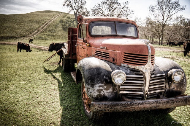 Old vintage farm truck sits among the cattle in the pasture.