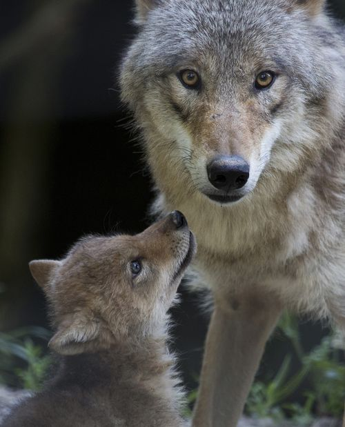 A Wolf Pup for Zoo Zurich! A Mongolian wolf pup looking to her Mum. Beautiful.