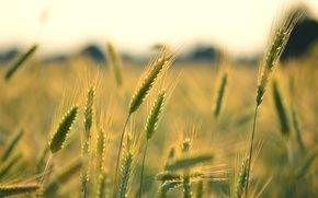 Обои широкоэкранные, HD wallpapers, обои, пшеница, поле, рожь, полноэкранные, background, fullscreen, макро, широкоформатные, фон, widescreen, колоски, ...