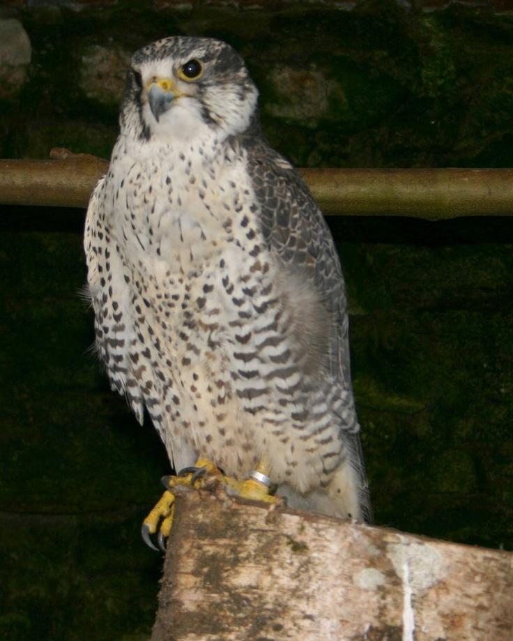 Ejemplar de halcón híbrido de la colección de rapaces del parque zoológico ornitológico de Avifauna Lugo.