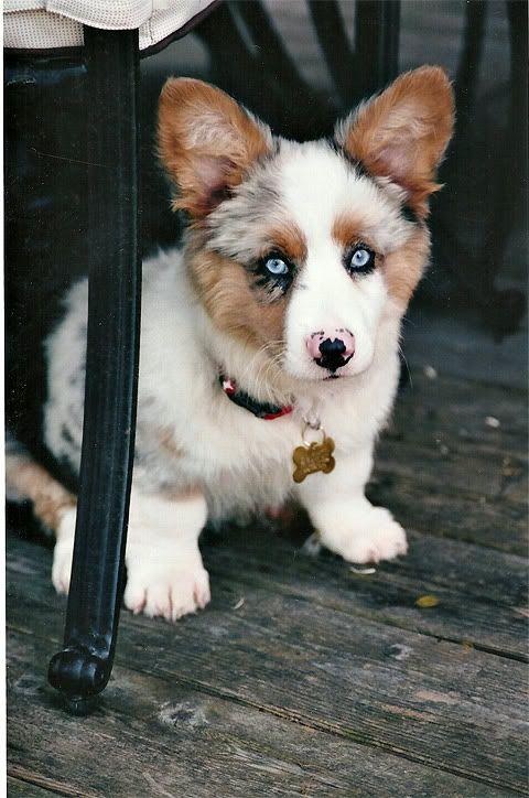 aussie+corgi (augi) aww cute!Australian Sheperd, Corgis Mixed, Blue Eye, Corgis Puppies, Aussies Corgis, Blue Merle, Australian Shepherd, New Dogs, Pembroke Welsh Corgis
