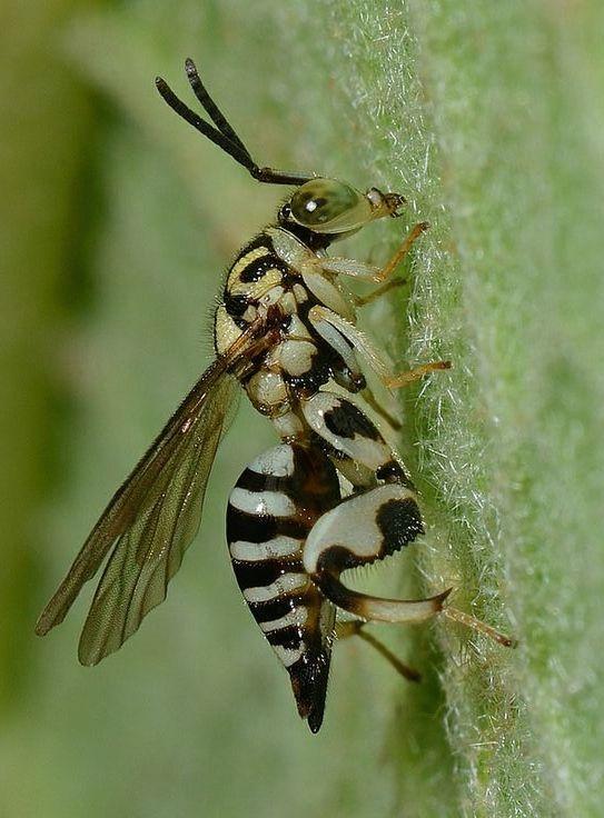 ˚Chalcidoid Wasp, possibly Conura sp - Peru  by Arthur Anker @ Flickr