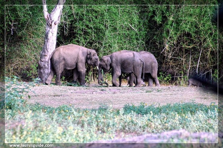 Bandipur National Park, created in 1974 as a tiger reserve in Project Tiger, is a national park located in the Indian state of Karnataka in the south. There was once a private hunting reserve for the Maharaja of Mysore Kingdom, but was upgraded to Bandipur Tiger Reserve. Bandipur is known for its wildlife and has many types of biomes, but the dry forest is dominant.  The park covers an area of 874 sq.kms (337 sq.mi), the protection of several species of fauna endangered India.