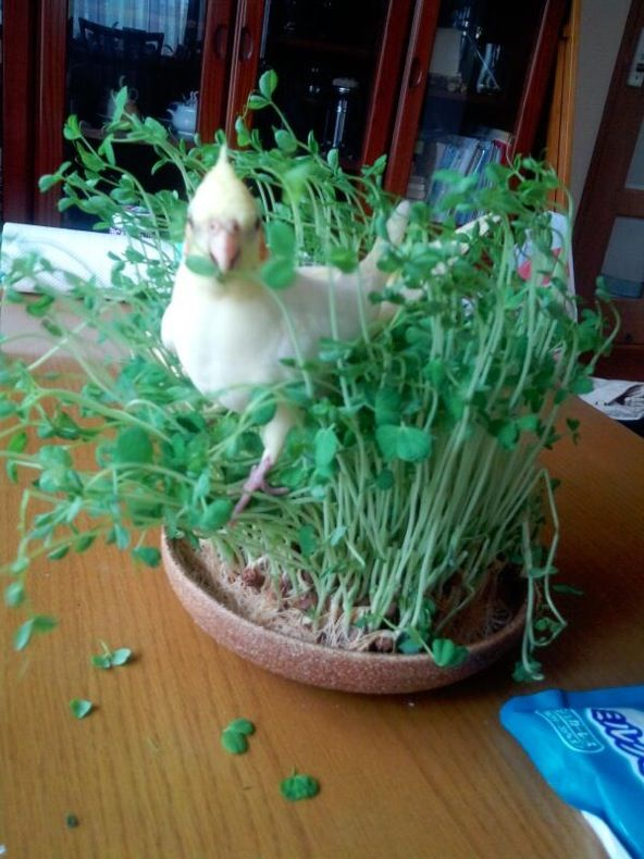 Getting his greens, grow sprouts for your bird