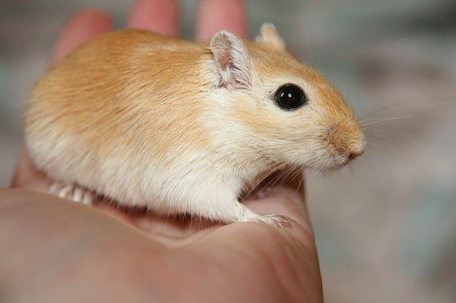Do Gerbils Make Good Pets Are They Good Pets For Children