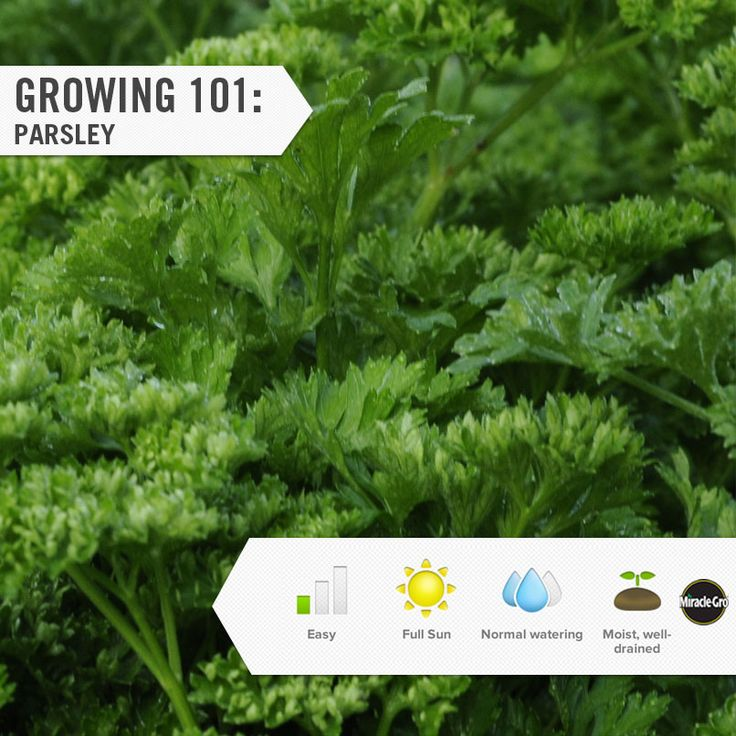 Learn how to grow parsley in your vegetable garden.