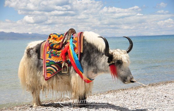 The significance of yaks for Tibetan people