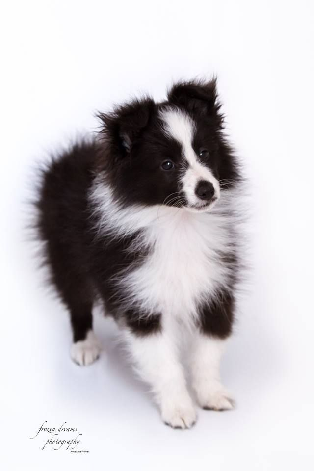 Pin By Rachel D On Dogs Dog Names Dogs Sheltie Dogs