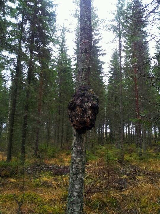 Alien looking out of birch tree