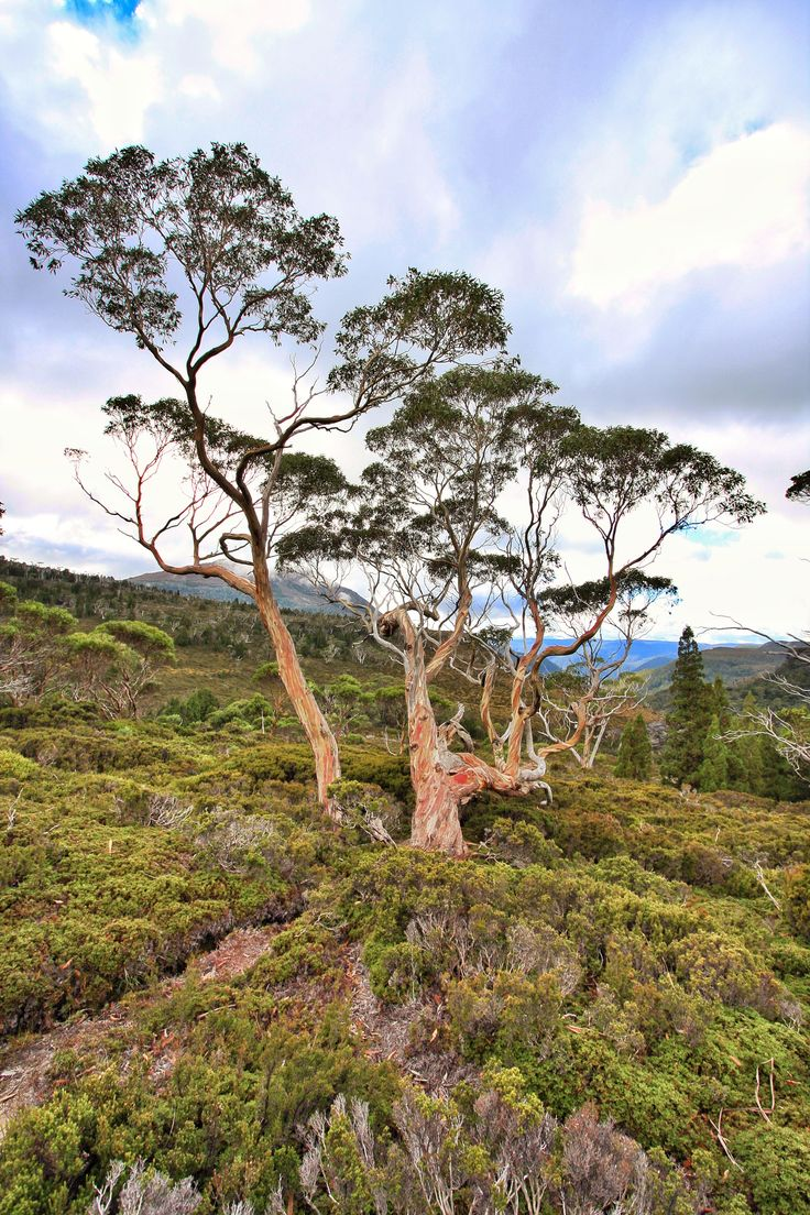 The Overland Track Tasmania. Day 2. The tree everyone takes a photo of. The red is amazing.