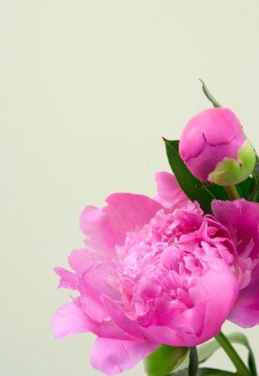 Peonia significado - Peonia - Díselo con flores; Descubre el misterioso lenguaje de las flores