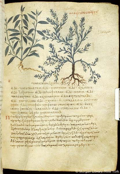 De materia medica, MS M.652 fol. 130r - Images from Medieval and Renaissance Manuscripts - The Morgan Library & Museum