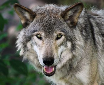 watch out for congress! the first time in US history that government (not scientists)  has made the decision to remove an animal from the endangered species list!!!! protect our wolves: Grey Wolf, Killing Wolves, Gray Wolf, Animal Kingdom, Grey Wolves, Gray Wolves, Wolves Doesn T, Adorable Animals 3