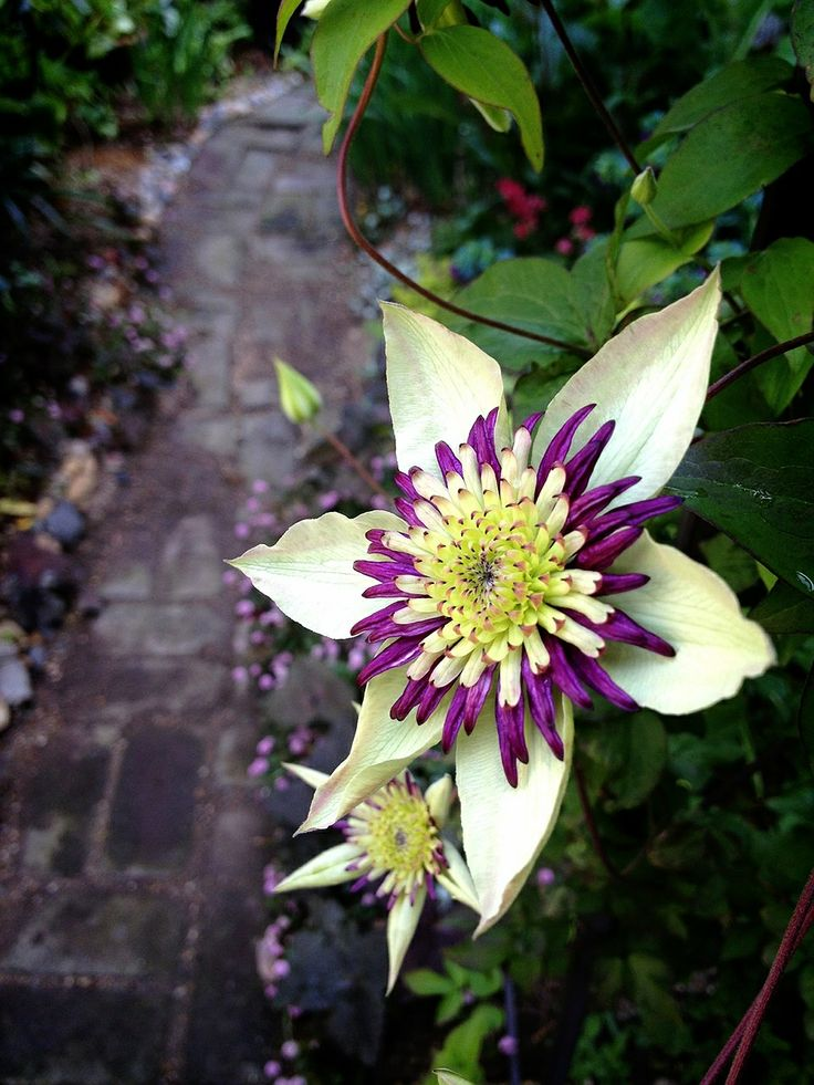 149 best images about clematis on pinterest woking for Clematis florida
