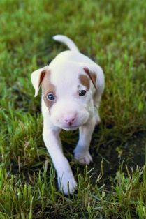 Top 5 Pit Bull Myths Get Busted | The Animal Rescue Site Blog