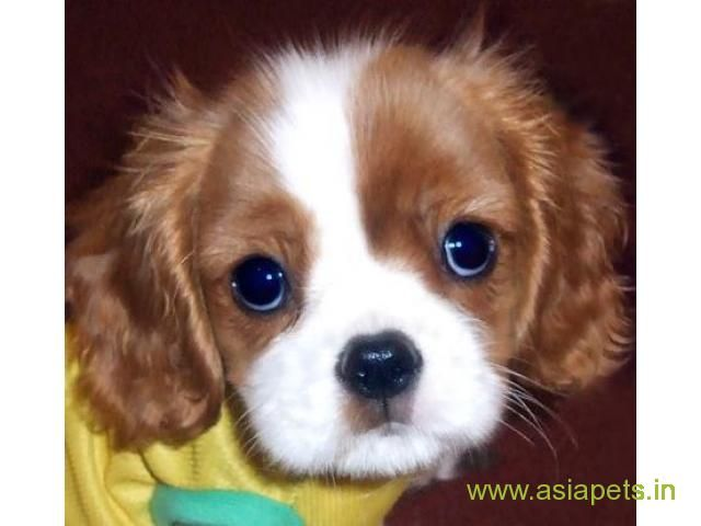 King Charles Spaniel Puppy For Sale In Kathmandu Best Price In Nepal King Charles Puppy King Charles Cavalier Spaniel Puppy Cavalier Puppy