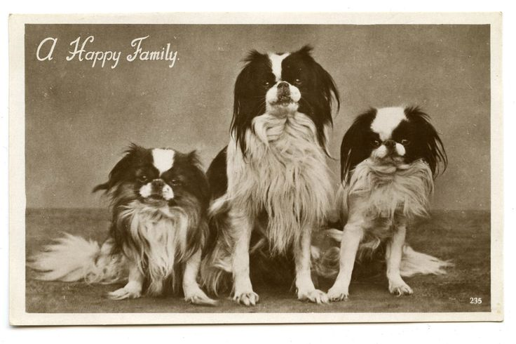 1934 Japanese Chin Postcard Antique Vintage RPPC Victorian Edwardian Dog Spaniel Toy Dogs by AuntieGVintage on Etsy https://www.etsy.com/listing/244396858/1934-japanese-chin-postcard-antique