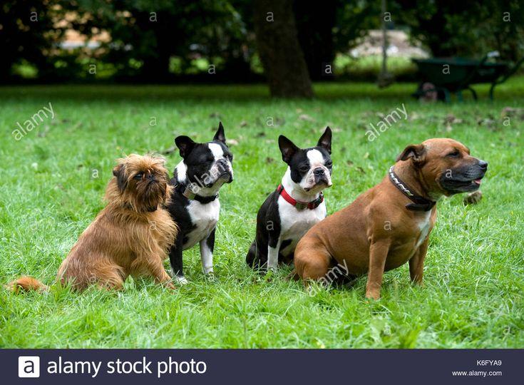 Staffordshire Bull Terrier Boston Terrier Griffon Fred Havaneser Boston Terrier Zuchter Welpe In 2020 Boston Terrier Funny Brindle Boston Terrier Boston Terrier Puppy