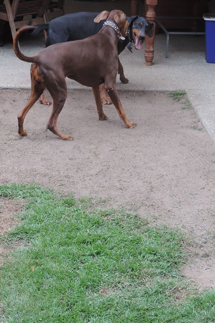 Where once there was grass, now only tussling Dobermans.