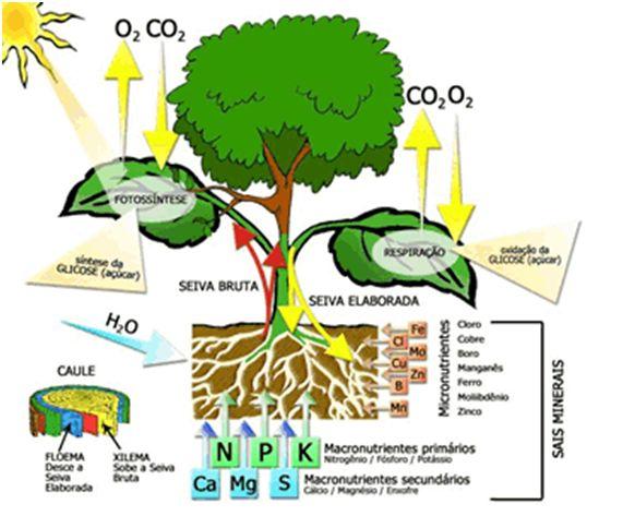 Reino Plantae  O Reino Plantae é composto pelas plantas, seres pluricelulares e eucariontes. Nesses aspectos elas são semelhantes aos animais e a muitos tipos de fungos, porém algo as difere …