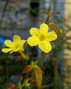 Jasminum nudiflorum Winter-Flowering Jasmin. Jasminum nudiflorum is a deciduous Shrub growing to 3.6 m (11ft) by 4.5 m (14ft) at a medium rate.  It is hardy to zone 6. It is in flower from Dec to March. The flowers are hermaphrodite (have both male and female organs) and are pollinated by Insects.